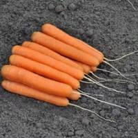 Семена моркови Ексельсо F1 калиброванное 100 000сем. Никерсон-Цваан