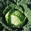 Семена капусты савойской Серпантин F1 2500 сем. Никерсон-Цваан