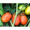Семена томат Диадема F1 1000 сем. Никерсон-Цваан