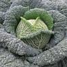 Семена капусты савойской Турмалин F1 2500 сем. Hazera