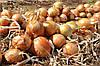 Семена лука Эксибишн 10 000 сем. Бейо заден.