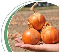Семена лука Каладо F1 250 000 сем. Никерсон-Цваан