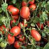 Семена томат Калиста F1 1000 сем. Никерсон-Цваан