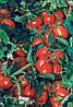 Семена томата Астерикс F1 2500 сем. Сингента.