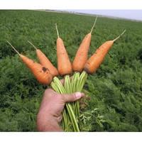 Семена моркови Шантане Ред Коред 0.5 кг. Vilmorin
