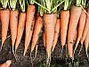 Морковь Скарла F1 0,5 кг. Клоз (Clause).