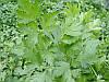 Петрушка листовая Новас 5 г. Клоз (Франция)