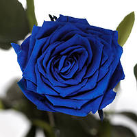 Долгосвежая роза FLORICH синий сапфир 5 карат, короткий стебель. От 5 штук.