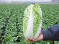 Семена капусты Эмико F1 (Emiko F1). Упаковка 2 500 семян. Производитель Bejo Zaden.