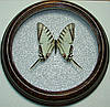Сувенир - Бабочка в рамке Eurytides agesilaus. Оригинальный и неповторимый подарок!