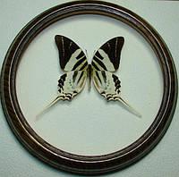 Сувенир - Бабочка в рамке Graphium androcles. Оригинальный и неповторимый подарок!