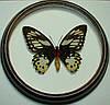 Сувенир - Бабочка в рамке Ornithoptera priamus poseidon f. Оригинальный и неповторимый подарок!