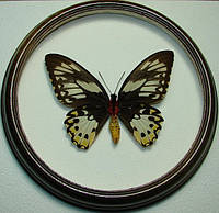 Сувенир - Бабочка в рамке Ornithoptera priamus poseidon f. Оригинальный и неповторимый подарок!, фото 1