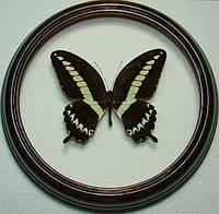 Сувенир - Бабочка в рамке Papilio gigon m. Оригинальный и неповторимый подарок!, фото 1