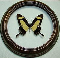 Сувенир - Бабочка в рамке Papilio torquatus. Оригинальный и неповторимый подарок!