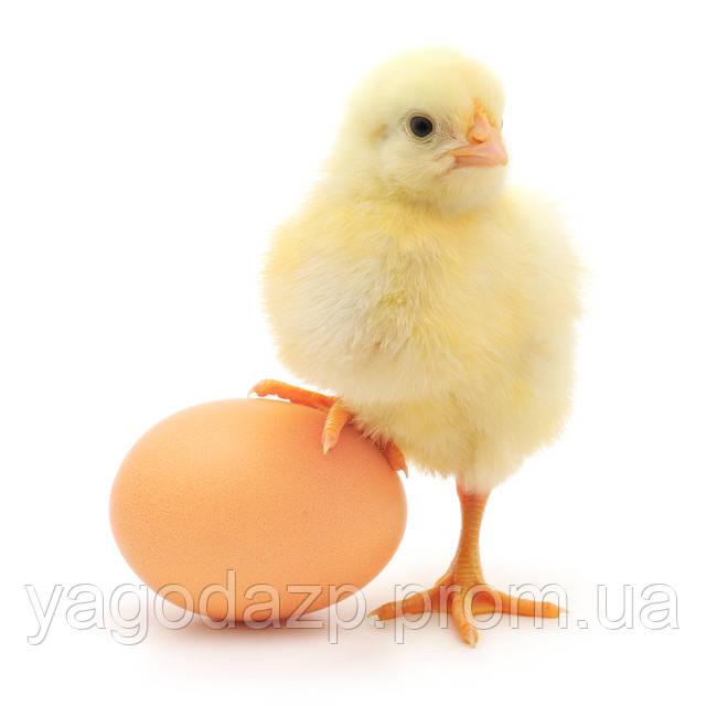 Почему вегетарианцы не едят яйца?