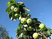 Саджанці колоновидних яблунь Арбат (КВ-43)