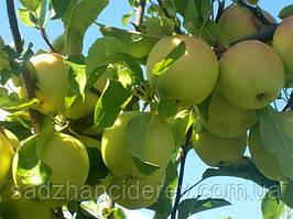 Саджанці яблунь Сніговий кальвіль
