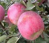 Саджанці яблунь Флоріна