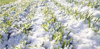Озимый рапс может «не дожить» до весны