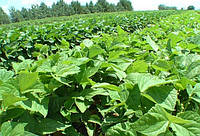 Одна из наиболее рентабельных культур в Украине еще и обогащает почву удобрениями для следующих посевов