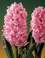 Гиацинт China Pink, фото 1