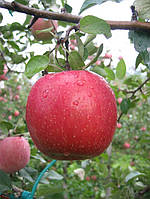 Саджанці яблунь Фуджи кіко