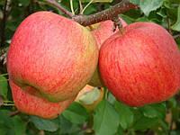Саджанці яблунь Чемпіон Рено