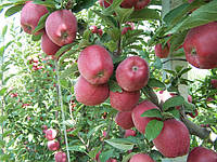 Саджанці яблунь Червона Рута