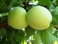 Саджанці яблунь Білий налив