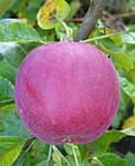 Саджанці яблунь Вільямс Прайд