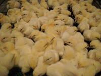 Купить цыплят бройлеров КОББ 500 Белополье
