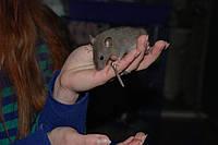 Ручные декоративные крысята черные и агути