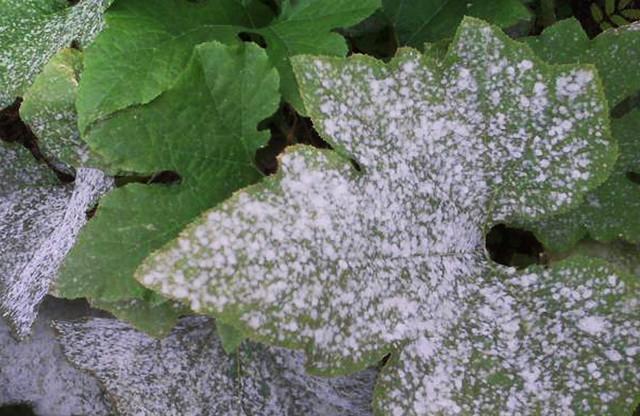 Обнаружены гены устойчивости к мучнистой росе