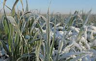 Несут ли грядущие морозы опасность для озимых?