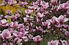 Магнолія Суланжа 2 річна, Магнолия Суланжа, Magnolia X soulangeana, фото 2
