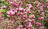 Магнолія Суланжа 2 річна, Магнолия Суланжа, Magnolia X soulangeana, фото 4