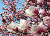 Магнолія Суланжа 2 річна, Магнолия Суланжа, Magnolia X soulangeana, фото 5