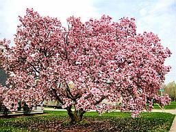 Магнолія Суланжа 2 річна, Магнолия Суланжа, Magnolia X soulangeana, фото 3