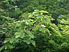 Магнолія Оберненояйцевидна 2 річна, Магнолия Обратнояйцевидная, Magnolia obovata, фото 3