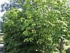 Магнолія Оберненояйцевидна 2 річна, Магнолия Обратнояйцевидная, Magnolia obovata, фото 4