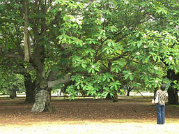 Магнолія Оберненояйцевидна 2 річна, Магнолия Обратнояйцевидная, Magnolia obovata, фото 2