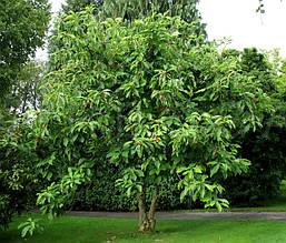 Магнолія Трипелюсткова / Трьохпелюсткова 1 річна, Магнолия трехлепестная / зонтичная, Magnolia tripetala, фото 2