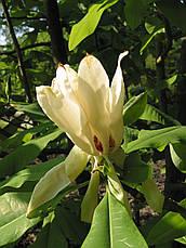 Магнолія Трипелюсткова / Трьохпелюсткова 1 річна, Магнолия трехлепестная / зонтичная, Magnolia tripetala, фото 3