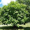 Магнолія Трипелюсткова / Трьохпелюсткова 1 річна, Магнолия трехлепестная / зонтичная, Magnolia tripetala, фото 4