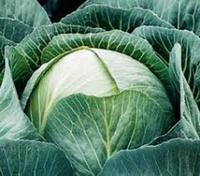Семена капусты Калорама F1 1000 семян поздняя