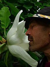 Магнолія Крупнолистна / Великолистна 2 річна, Магнолия крупнолистная, Magnolia macrophylla, фото 2