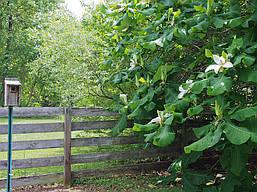 Магнолія Крупнолистна / Великолистна 2 річна, Магнолия крупнолистная, Magnolia macrophylla, фото 3