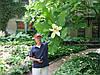 Магнолія Крупнолистна / Великолистна 2 річна, Магнолия крупнолистная, Magnolia macrophylla, фото 5