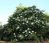 Магнолія Крупнолистна / Великолистна 2 річна, Магнолия крупнолистная, Magnolia macrophylla, фото 6